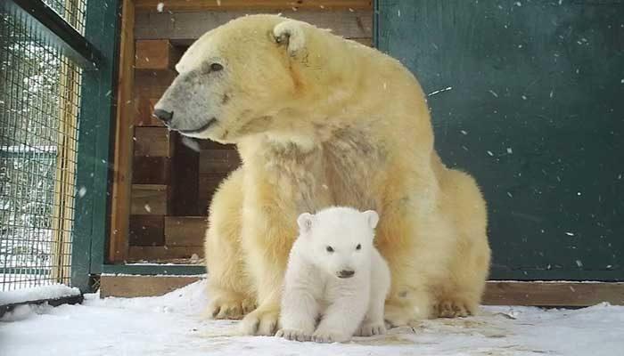 25 yıl sonra İngiliz topraklarında doğan ilk kutup ayısı