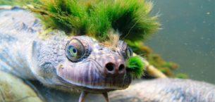 Avustralya'nın 'serseri kaplumbağası', Mohicalıların son tehlikesi